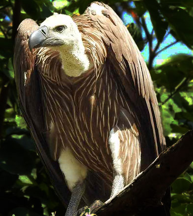 Oriental White backed vulture